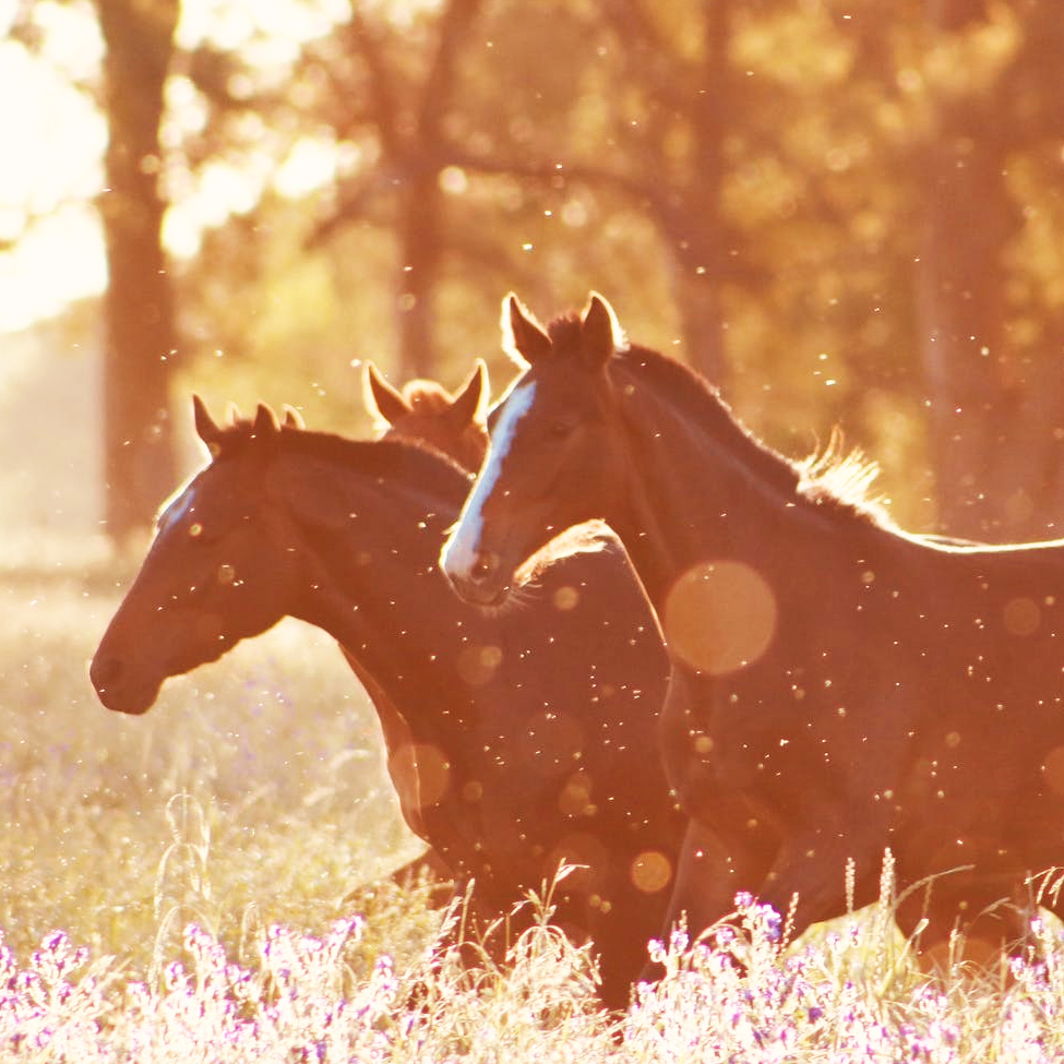 Horses running in the American West