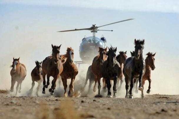 Wild horse roundups