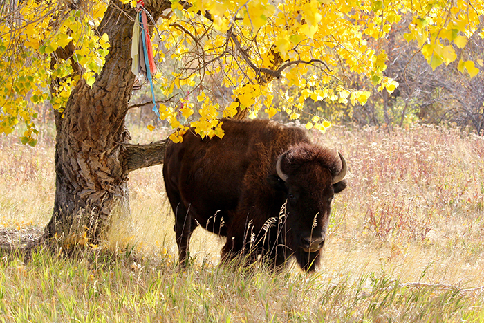 Female bison rests in the under a cottonwood tree at Bear Butte Mountain, early October.