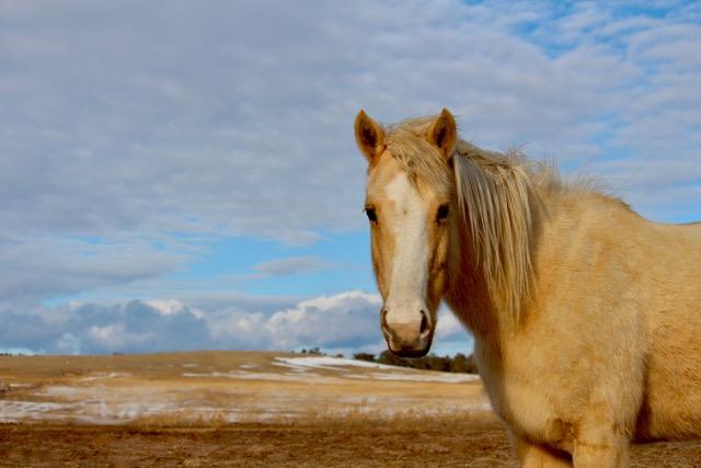 Palomino horse and blue sky