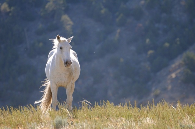 White mustang horse